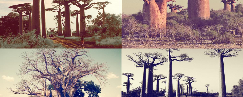 El árbol Baobab fue la inspiración para la creación del nombre de la compañía